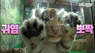 Download 그만 커도 될 것 같다♡ ㅣ Come. Tiger Gives You High Five Bruh Video