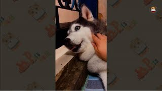 Download Funny Husky Compilations 2017 # 21 Video