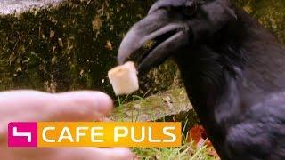 Download Intelligente Raben | Café Puls Video