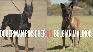 Download DOBERMAN PINSCHER VS. BELGIAN MALINOIS: BATTLE OF PROTECTION DOGS Video