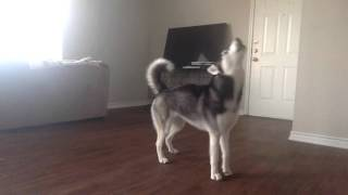 Download My Husky, Sequoia, Howling while Home Alone Video