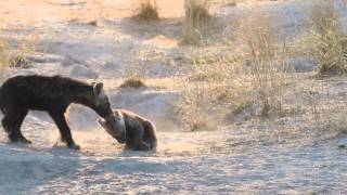 Download Hyena cubs fighting Video