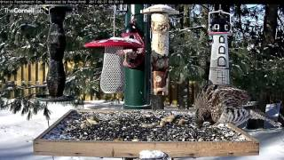 Download Ruffed Grouse Entertains Visitors on the Platform – Feb. 27, 2017 Video