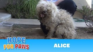 Download Burned with acid, this poodle makes an incredible transformation that will inspire you! Video