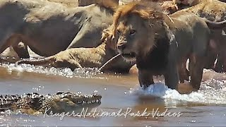 Download 19 Lions Hunting Waterbuck Vs Crocodile in Battle at Kruger Park Full Video. Video