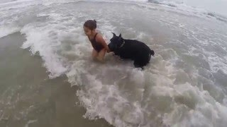 Download Giant schnauzer looking out for my daughter at dog beach Video