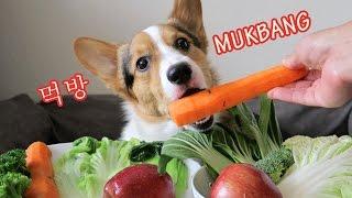Download CORGIS MUKBANG EATING SHOW | CUTEST DOG EVER? [먹방 코기 강아지] Video