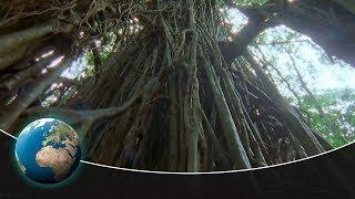 Download The Strangler Fig – An unbelievable tree killer Video