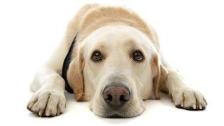 Download Como fazer o cachorro parar de comer fezes [Adestramento de Cães] Video