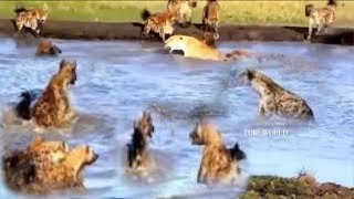Download Animals Fight Powerful Lion vs Pack Of Hyenas Video