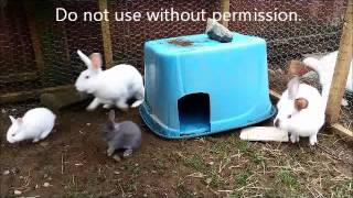 Download Nature can be cruel - adult rabbit attacks baby bunny Video