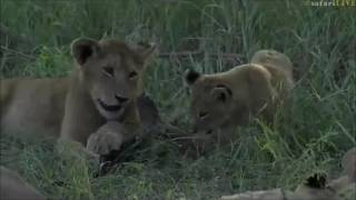 Download Safari Live : The Styx Pride with Cubs on drive with Tayla this afternoon April 24, 2017 Video