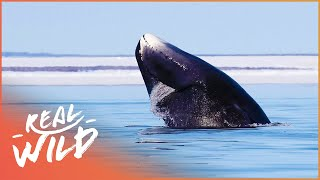 Download Immortals Of The Arctic: The Bowhead Whale | Wild Things Channel Video