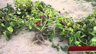 Download zbiory pomidorów 2012 Video