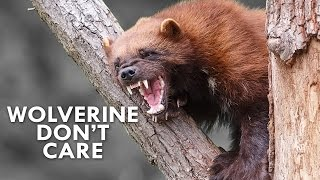 Download Wolverines Are the Honey Badgers of the North Video
