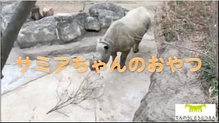 Download 【天王寺動物園】サミアちゃんのおやつ Video