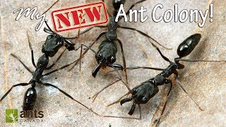 Download MY NEW ANT COLONY - AWESOME! Video