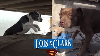 Download Saving Lois and Clark - two homeless Pit Bulls living in a truck yard - Please share. Video