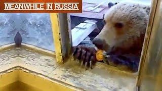 Download Russian Man Feeding A Wild Bear Through A Window Video