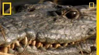 Download Croc vs. Monitor Lizard | National Geographic Video