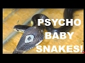 Download BABY SNAKES Hissing Like Psychos! 2 Thailand Cobras 🇹🇭 | ThaiPulseCom Video