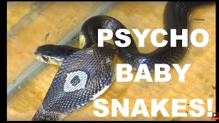 Download BABY SNAKES Hissing Like Psychos! 2 Thailand Monocled Cobras Video