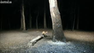 Download Red Fox Was Back (4-30-17) Video