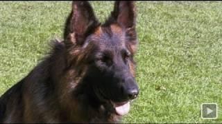 Download Ausgebellt: Deutscher Schäferhund am Ende - SPIEGEL TV Magazin Video