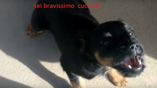 Download Cane Che Abbaia : Piccolo Cane che Abbaia Video
