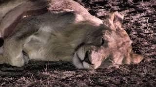 Download Djuma: Nkuhuma pride+ 3 Mhangeni sub males and 1 Talamati young male-Pt:2 - 10/23/18 Video