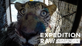 Download Rescuing a Fierce Leopard: See What It Takes | Expedition Raw Video