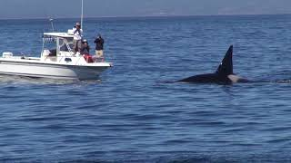 Download 09-26-2017: Orcas Show up Again and The Humpbacks Don't Like It Video