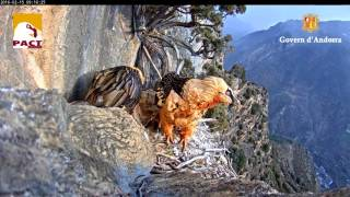 Download Nest of Gypaetus Barbatus Video