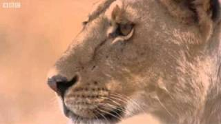 Download Lioness vs Cheetah | Big Cat Diary | BBC Video