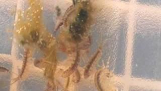 Download Growing Reef Amphipods Video