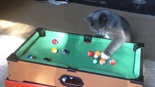 Download Cats Playing Pool Compilation Video