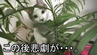 Download 猫が植木鉢の上で遊んだ結果 Cat Happening Video