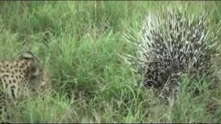 Download Porcupine Vs Leopard: Another battle at Kruger Video