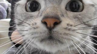 Download お風呂上りの猫… 文句がとまらなくなる!~なだめる母とU.S.A.ダンス+新曲披露❤ -Come On Baby, American Short Hair Video