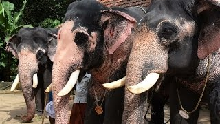 Download Elephants Of Guruvayoor Punnathur Kotta elephant sanctuary (punnathoor Fort) Video