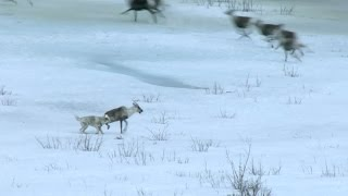 Download Wolf hunts caribou - Nature's Epic Journeys: Episode 2 Preview - BBC One Video