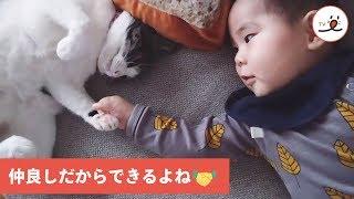 Download 握手したい赤ちゃんと戸惑いながらも対応する猫😺👶【PECO TV】 Video