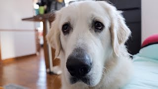 Download Funny Dog Asks for Popcorn: Cute Golden Retriever Dog Bailey Video