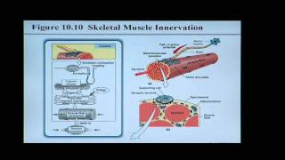 Download Anatomy and Physiology Help: Chapter 10 Muscle Tissue Video