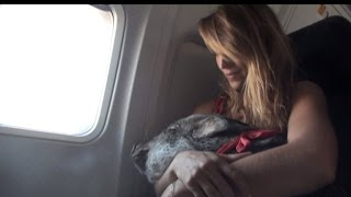 Download Woman Takes 70-Pound Pig on Plane For Support: He's Quieter Than Most Kids Video
