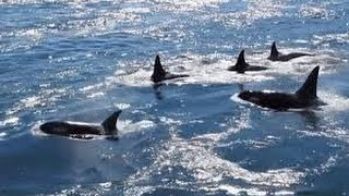 Download Orcas in Active Pass, Galiano Island BC - Canada (wow!) Video