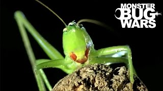 Download Orange Mouth Tarantula vs Scarlet Mouth Katydid | MONSTER BUG WARS Video