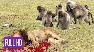 Download Babuíno Loucos vs Leon, Real Luta e Feroz Animais Selvagens, Ataques Macacos vs Leões Video