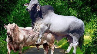Download OMG! Amazing Man Use Traditional Style To Produce The Baby Cow -How to Produce Cow In My Country Video