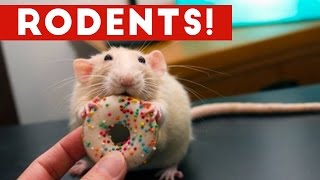 Download Incredible Rat & Rodent Videos of 2016 Weekly Compilation | Funny Pet Videos Video
